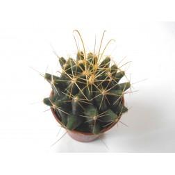 Hamatocactus sinuatus var. flavispinus