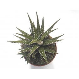 Haworthia fasciata zebra plant