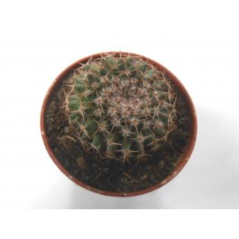 Mammillaria formosa