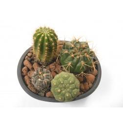 Echinocereus rigidissimus rubrispinus