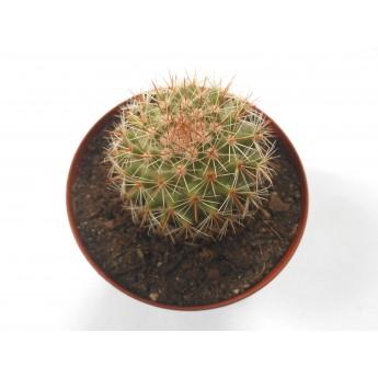 Mammillaria backebergiana