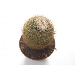 Mammillaria perbella