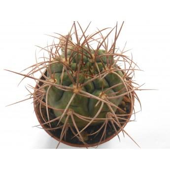 Gymnocalycium tillianum