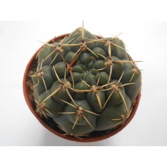 Gymnocalycium schroederianum paucispinum