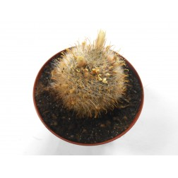 Mammillaria nana