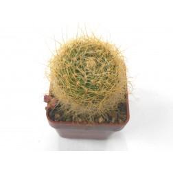 Sulcorebutia gerosenilis