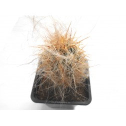 Oreocereus celsianus fossulatus