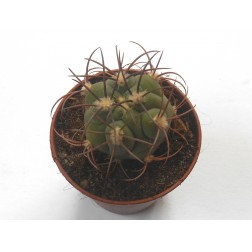 Kaktus Opuntia vestita f. cristata