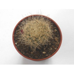 Kaktus Rebutia sp vatter