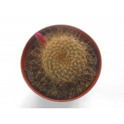 Kaktus Rebutia violaciflora