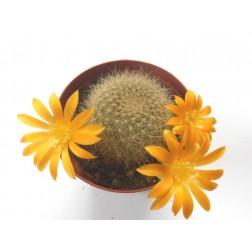 Kaktus Rebutia chrysacantha var. kesselringiana