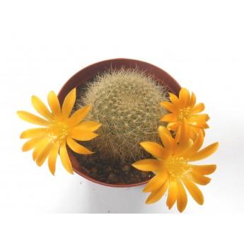Rebutia chrysacantha