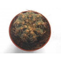 Kaktus Gymnocalycium quehlianum v. albispinum