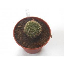 Kaktus Rebutia brevispina