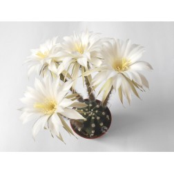 Kaktus Echinopsis subdenudata
