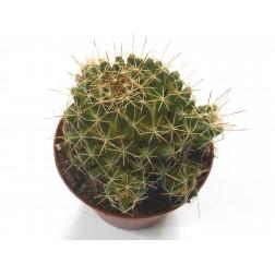 Kaktus Mammillaria decipiens ssp. camptotricha