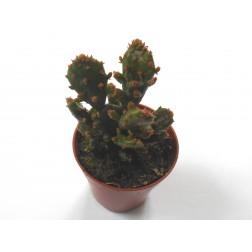 Opuntia monacantha variegata