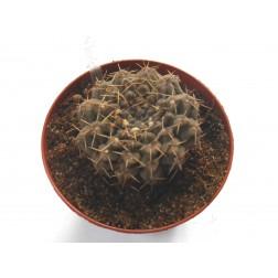 Gymnocalycium brachypetalum