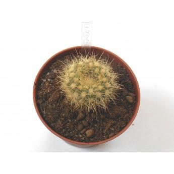 Notocactus agnetae