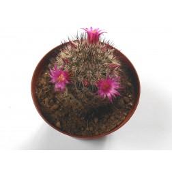Mammillaria centraliplumosa