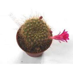 Rebutia senilis lilacinorosea