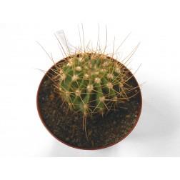 Acanthocalycium peitscherianum