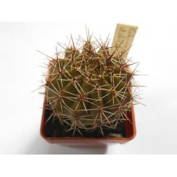 Echinopsis dobeana