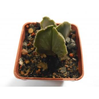 Astrophytum myriostigma var nudum